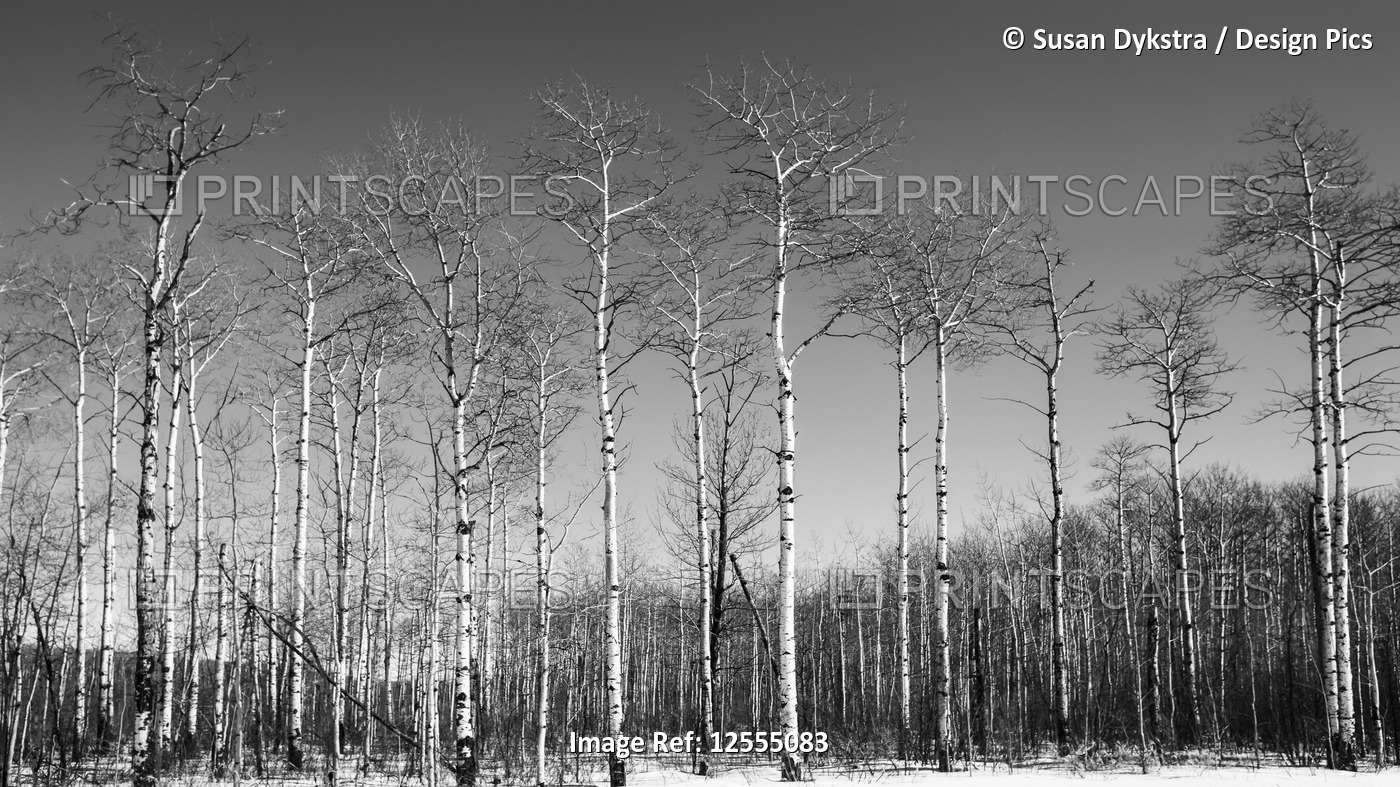 Birch Stand of Patterns