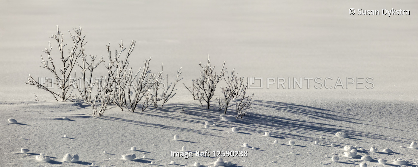 Ice-covered autumn grasses in snow